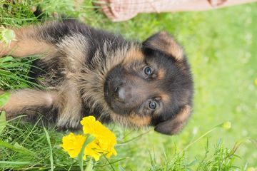 Litter Of 8 German Shepherd Dog Puppies For Sale In Iron Mountain