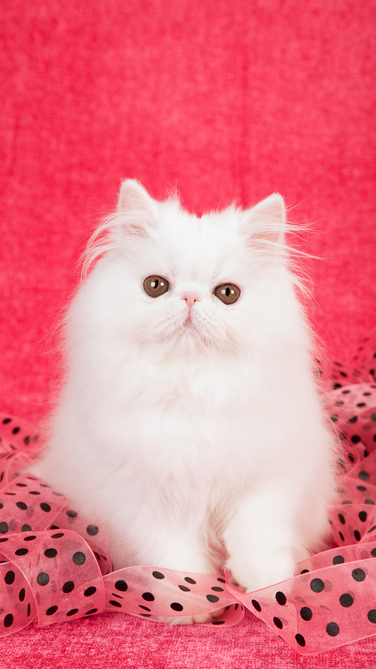 Pin By Rhonda Gilmore On Cuteness White Persian Kittens