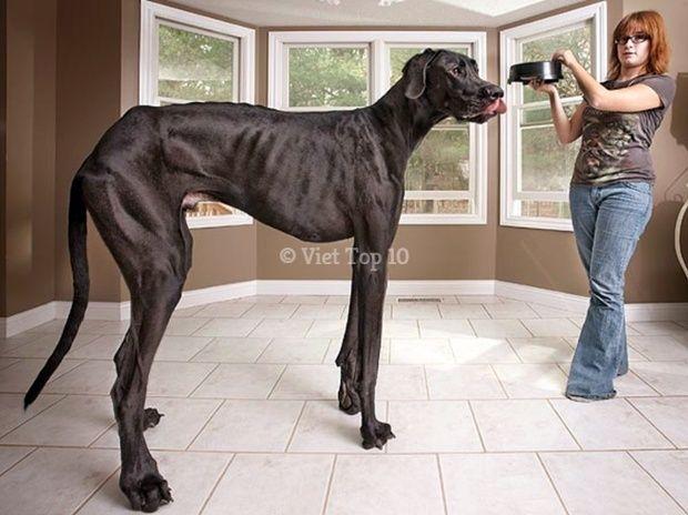 con chó lớn nhất thế giới - việt top 10 - việt top 10 net - viettop10