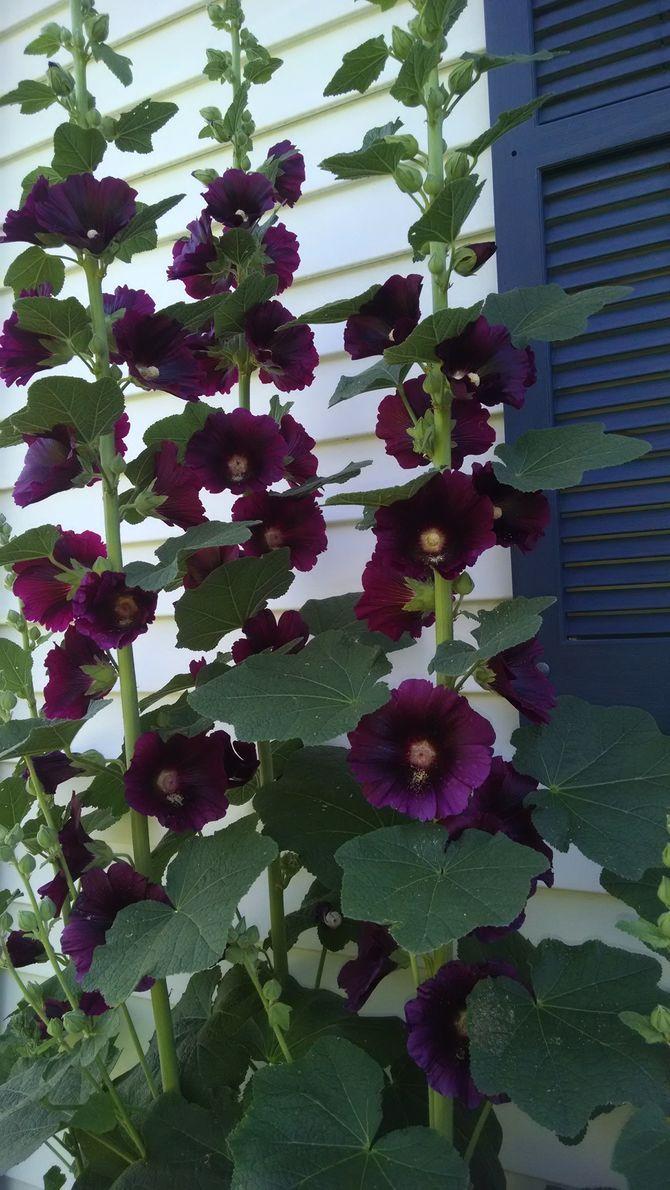Grow Hollyhocks Hollyhocks flowers