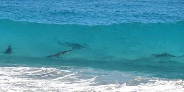 Sharks In The Surf At New Smyrna Beach Florida Liuards Keep Goers And Surfers Out Of Water When Are Present