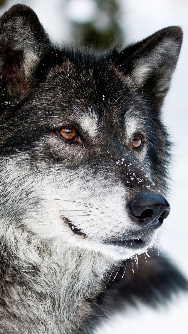 Когда мужчина спасал волчицу и ее 4 волчат, он и подумать не мог ...   1136x640