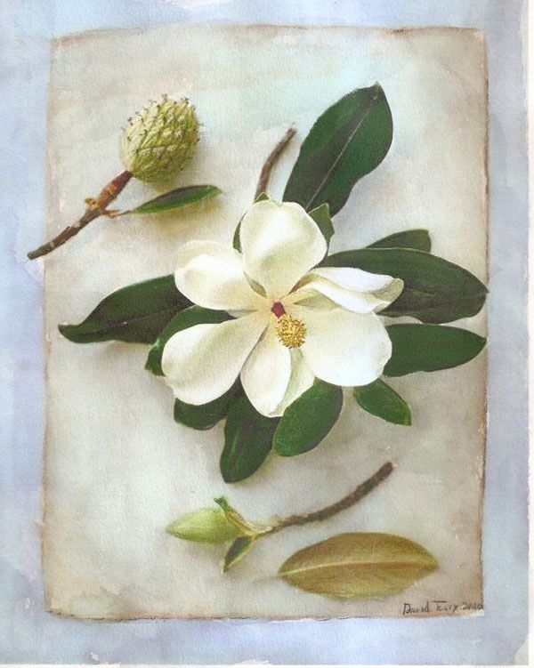 Purement Elegant Magnolia 4 Painting By David Terry Art Great Open Flower And Leaves And Bud Magnolia Plant Problems Rose Painting