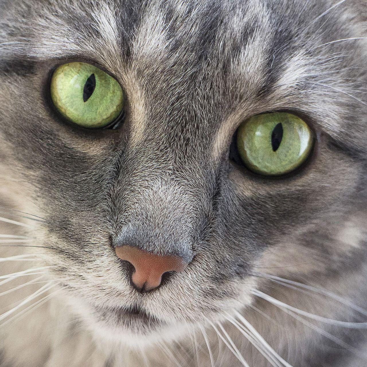 Obraz Zdarma Na Pixabay Kocka Zelene Oci Roztomily Hlava Green Eyes Cats Animals