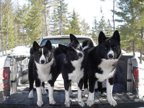 Karelian Bear Dogs Are Bred To Fight Off Bears Where Needed