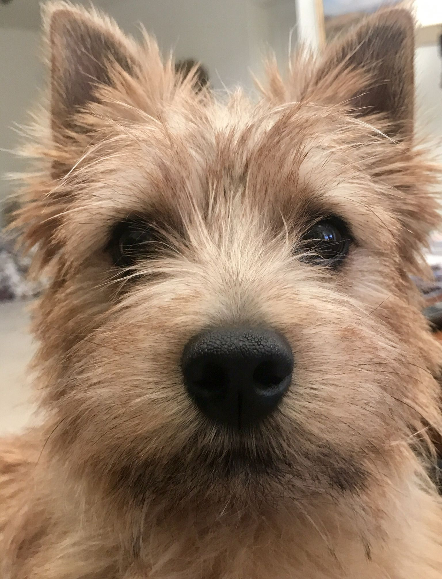 Always Managing Household Activities Cairn Terrier Norwich Terrier