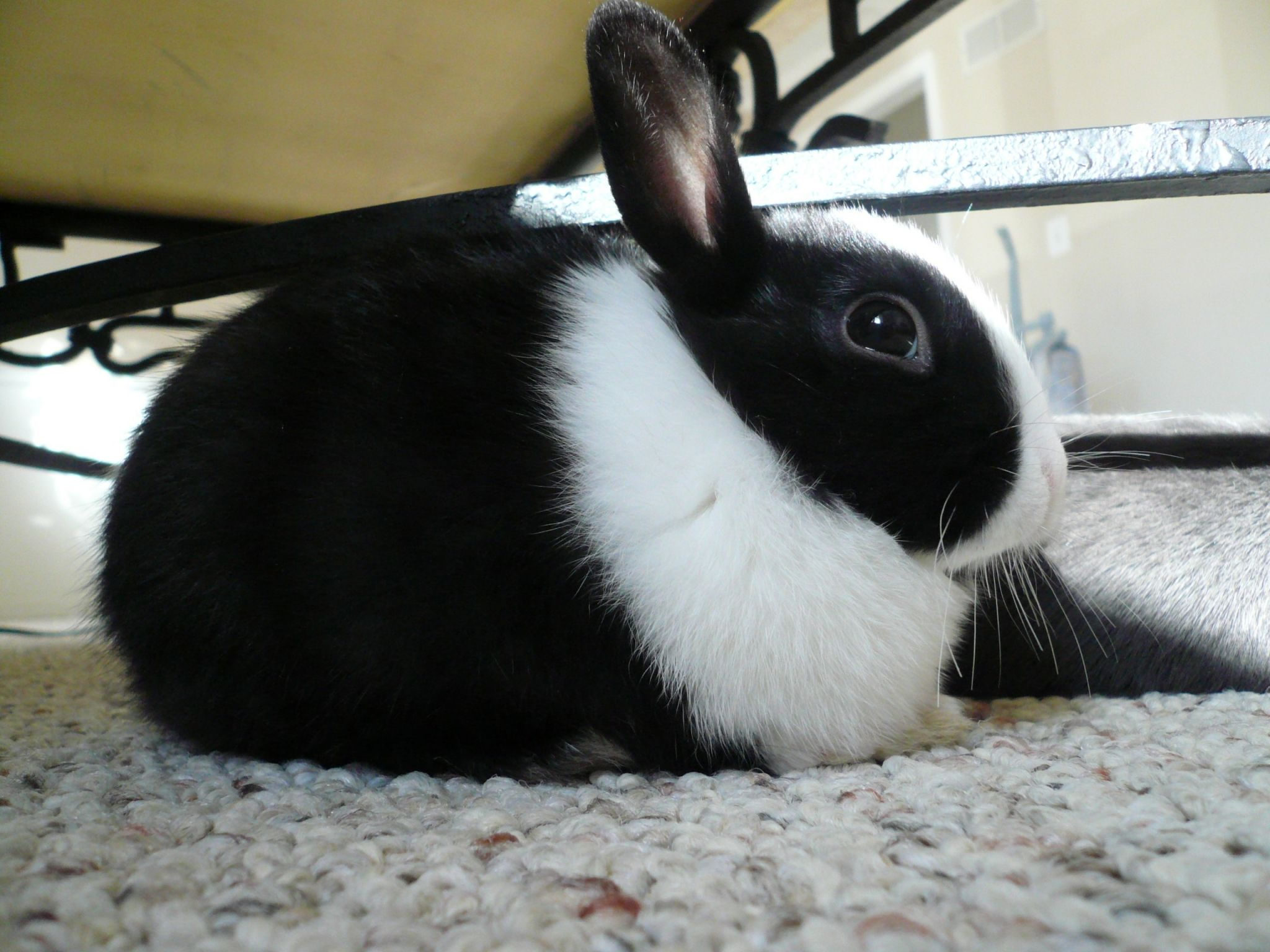 Cute Black And White Bunny Resting