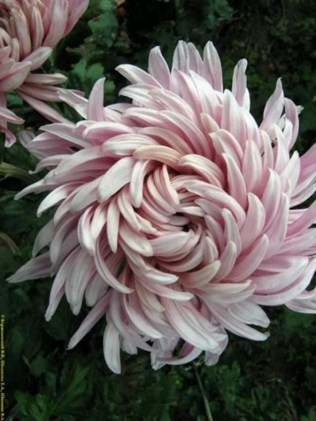 Chrysanthemum With Images Amazing Flowers Birth Flowers Flowers