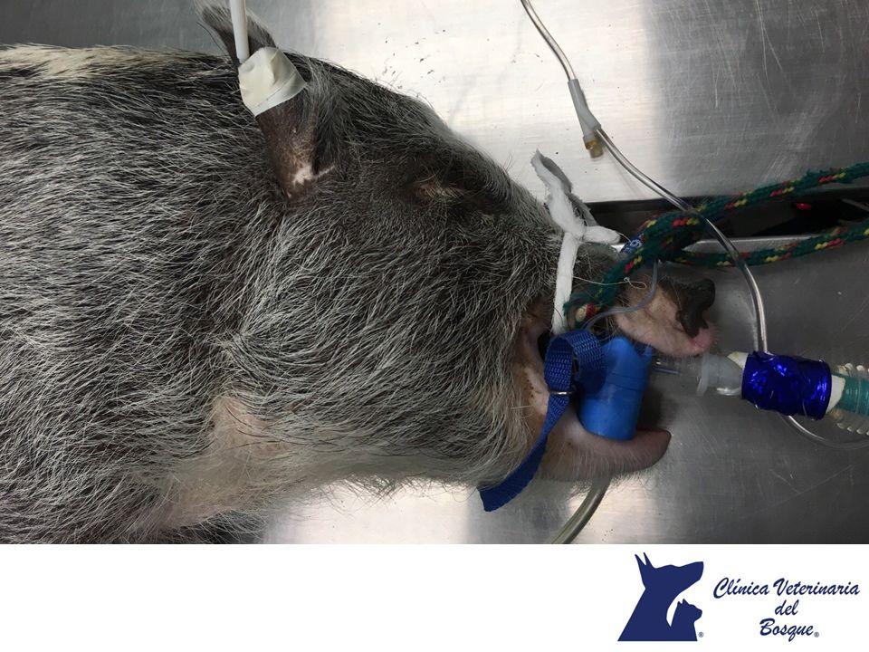 LA MEJOR VETERINARIA DE MÉXICO. Los cerdos enanos se han convertido en la nueva mascota favorita de chicos y grandes. Gracias a su capacidad para adaptarse y a su limpieza, son preferidos por las personas alérgicas al pelo de perros o gatos. Se consideran animales muy inteligentes y cariñosos. Por su organismo tan parecido al de los humanos, puede contraer las mismas enfermedades o ser contagiado por una persona. En Veterinaria del Bosque contamos con atención especializada para mascotas…