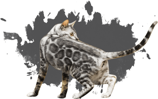 Bengal Kittens & Cats for Sale Near Me Bengal cat price
