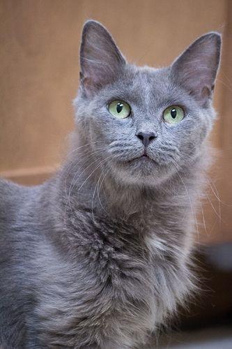 Mon British Shorthair British Shorthair Kittens British