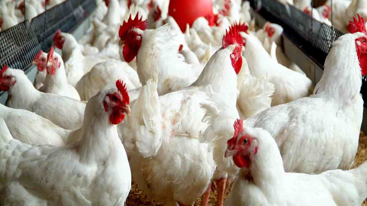 The post BEST WAYS TO START POULTRY FARMING BUSINESS IN