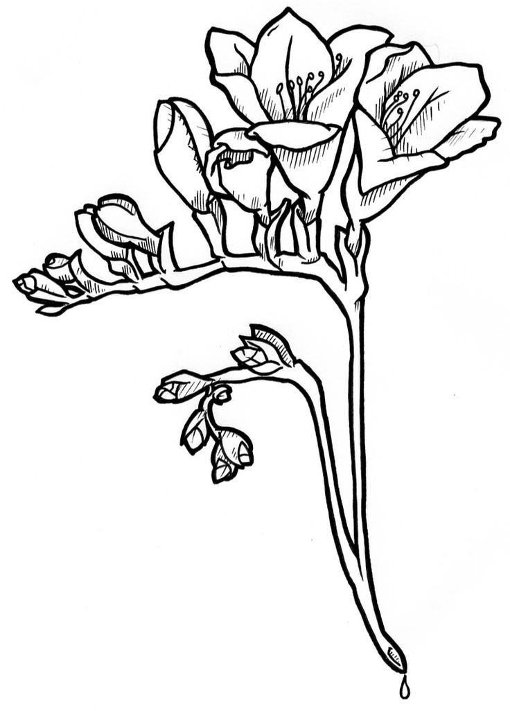 Freesia Flower Freesia Flowers Flower Drawing Pug Tattoo