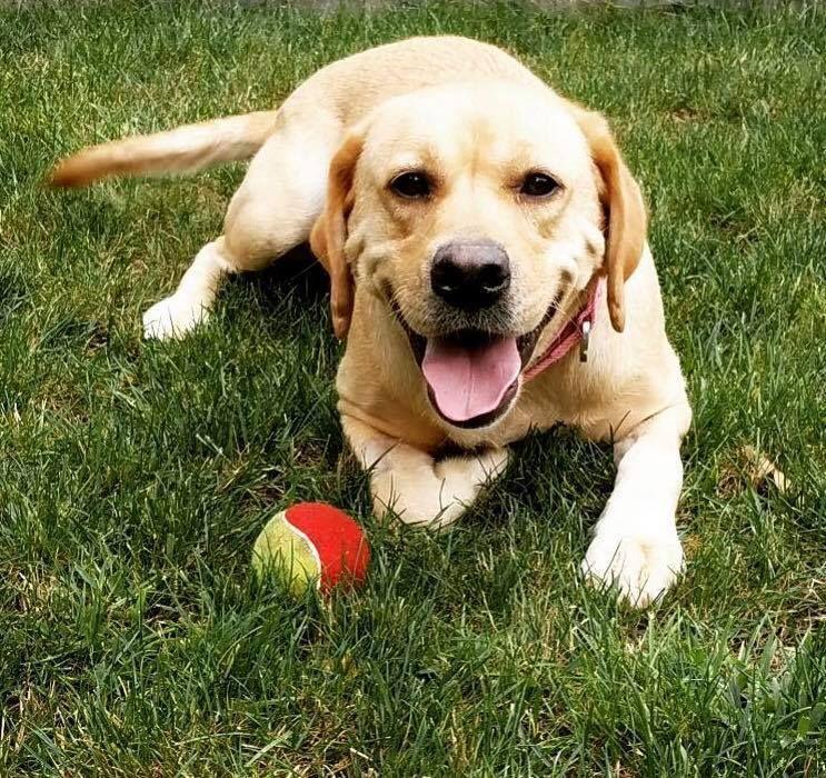 Adopt liberty on petfinder labrador retriever labrador