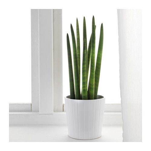 Sansevieria cylindrica plante en pot ikea office for Plante interieur ikea