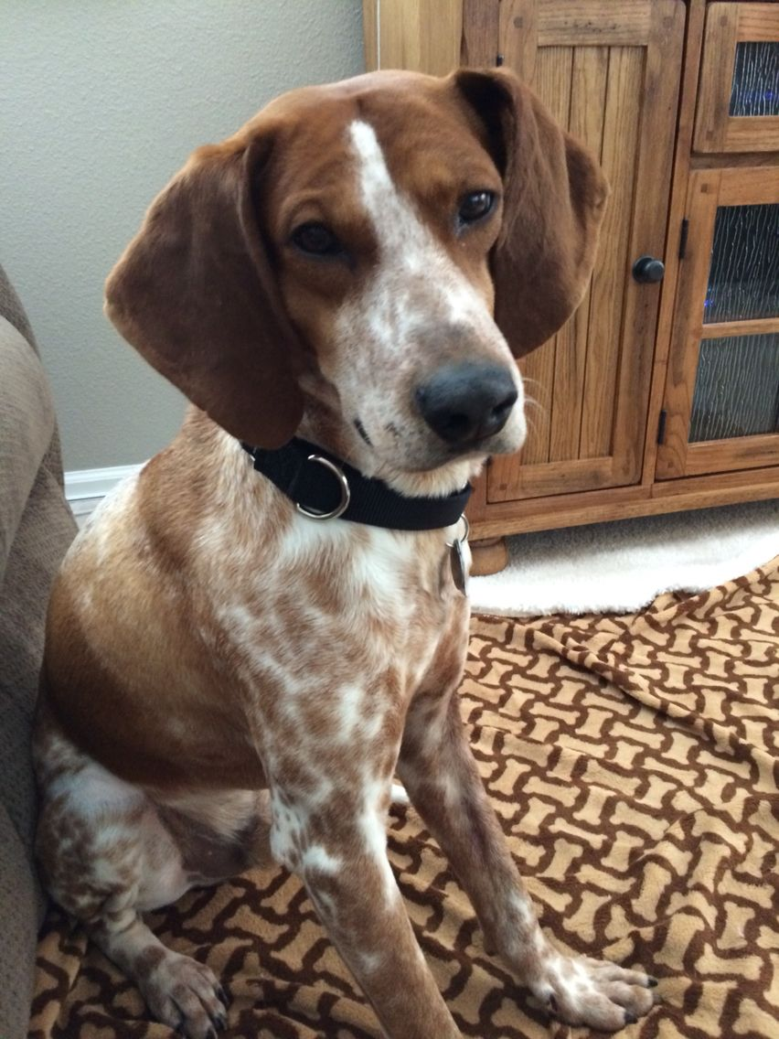 Rusty The English Redtick Coonhound Two Years Old Red Tick