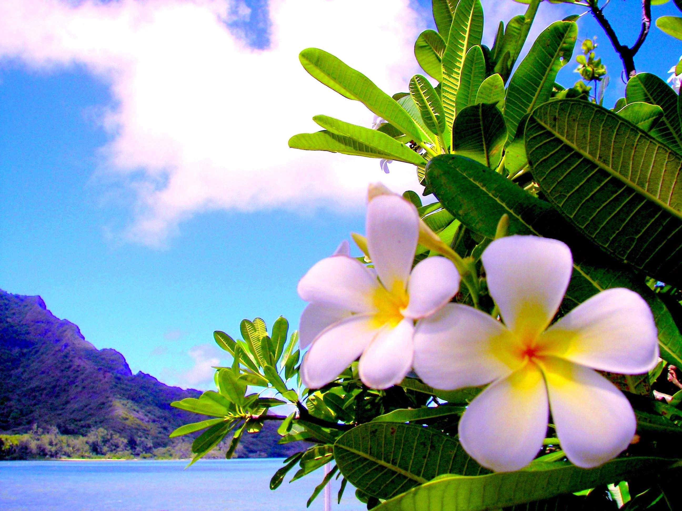 photo collection frangipani plumeria flower wallpaper
