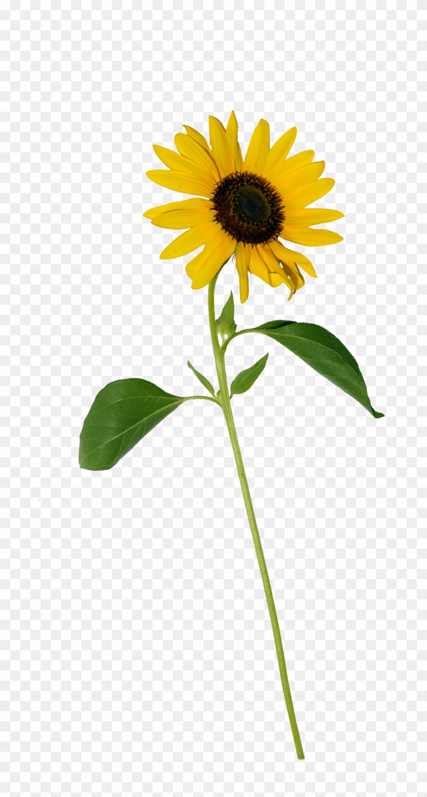 Download And Share Clipart About Sunflower Single Png Single Sunflower Flower Png Find More High Qu Sunflower Flower Blue Flower Pictures Yellow Rose Flower