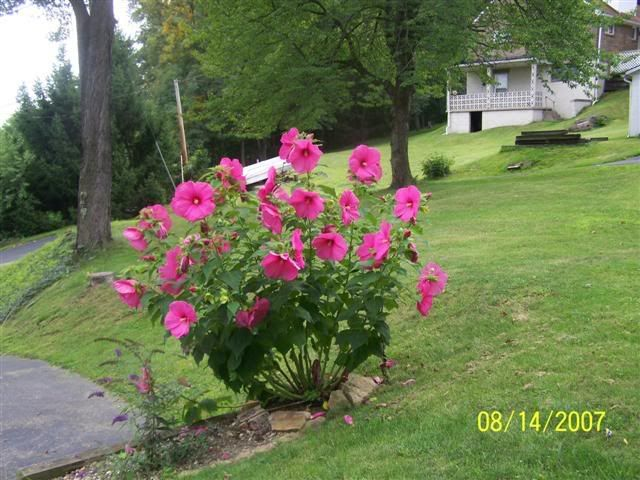 Has Anyone Grow Or Heard Of Perennial Hibiscus I Saw It In Garden