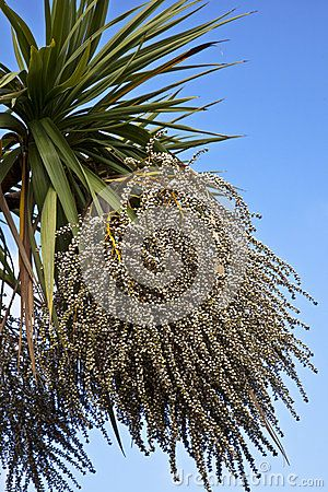 Cordyline Australis Cabbage Tree In Flower Stock Photo Image 44473678 Photo Flowers Tree