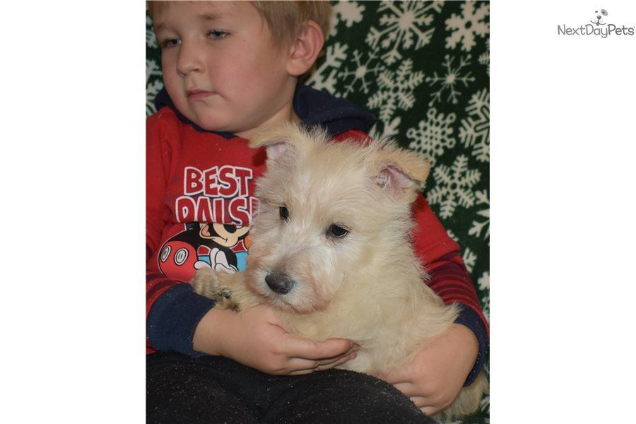 Cody Scottish Terrier puppy for sale near Los Angeles