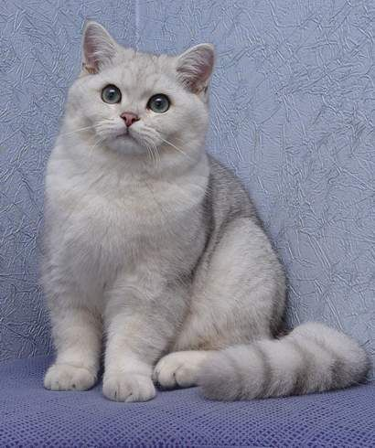 British Silver Shaded Tomcat Jupiter Peppercats Chunky At Only 5