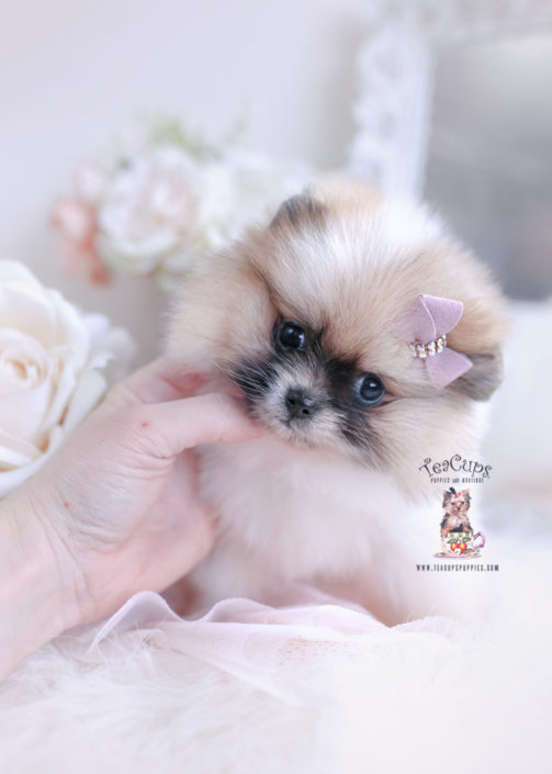 Pomeranian Puppy 041 For Sale Teacup Puppies In 2020 Teacup Puppies Pomeranian Puppy Yorkie Dogs
