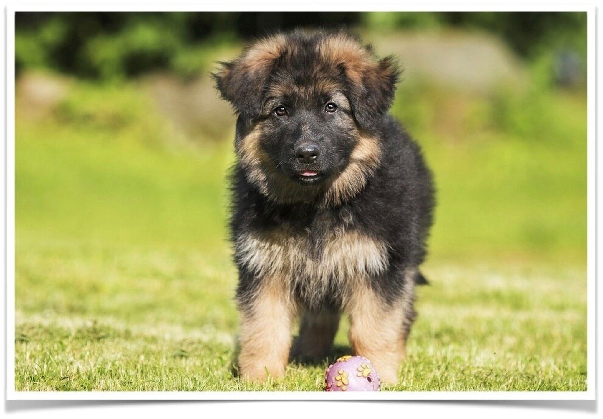 77 Black And Tan German Shepherd Puppies For Sale Near Me In 2020