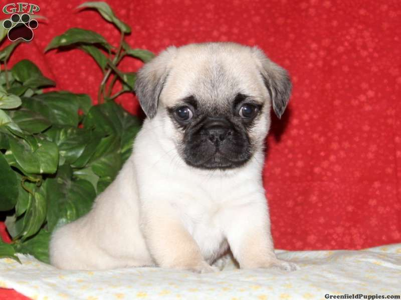 Tristan Puginese Puppy For Sale In Pennsylvania Puppies For