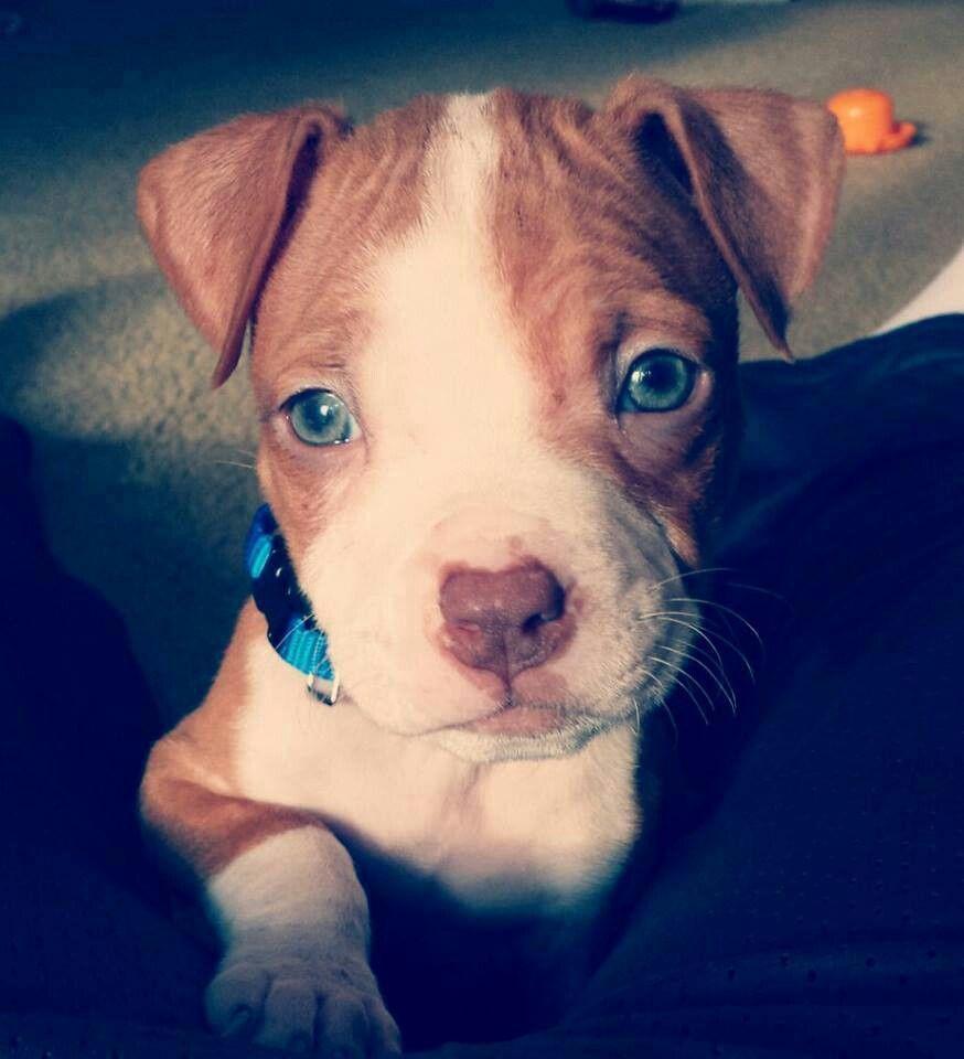Fantastic Pitbull Blue Eye Adorable Dog - 7ab8d3a79ea5af41764c8100205680fe  Collection_4303  .jpg