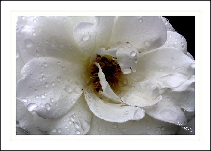 Comme fane une rose Ô intense euphorie d'une flamme éphémère, Ton éclat lumineux rend la Beauté plus belle ; La misère aveuglée croit en l'aube nouvelle, Aux serments échangés sous un rai de lumière. La nuit cache son ombre à l'heure qui décline Et le...
