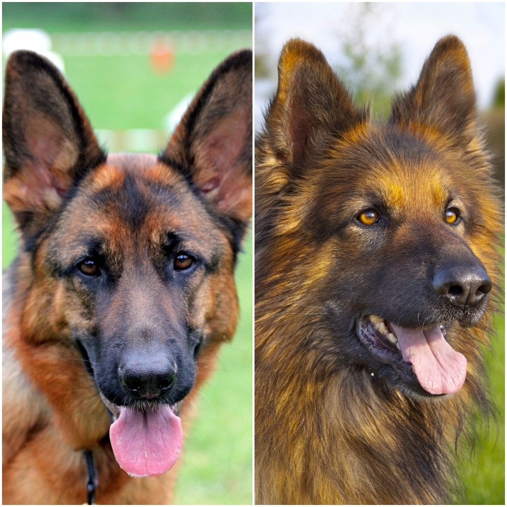 Short Haired German Shepherd Vs Long Haired Comparison Differences Similarities German Shepherd Colors Black German Shepherd Dog Black German Shepherd