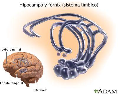 Esquema del sistema límbico (relacionado con la memoria ... Adhd And Limbic System