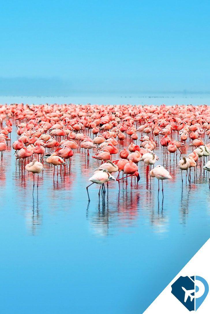 Lago Nakuru, Kenia Ubicado a 160 km de Nairobi, la capital de Kenia, el lago Nakuru es famoso porque ser refugio de varios tipos de aves migratorias pero, sobre todo, de los flamencos o flamingos, que en determinadas épocas del año llegan a ser millones, tiñendo de rosa la totalidad del lago.