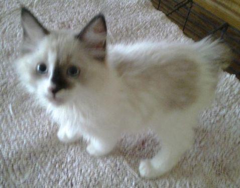 Freeadspets Com 4 Cats Age Baby Ragdoll X Manx Kittens Orlando Jpg 478 375 Cat Ages Manx Kittens Siamese Cats