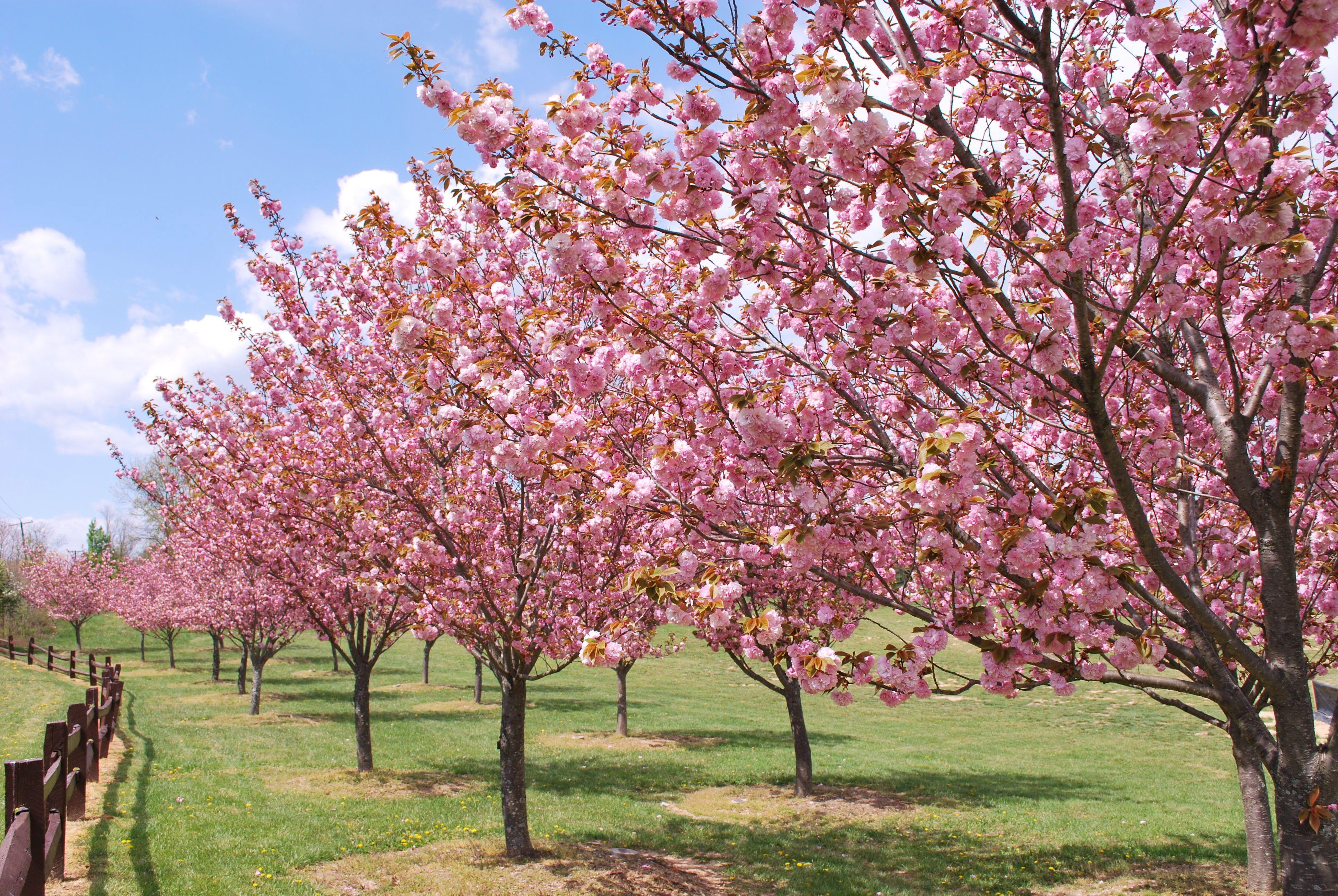 Kwanzan Cherry Tree Care Landscape Designs For Your Home Cherry Tree Flowering Cherry Tree Blossom Trees