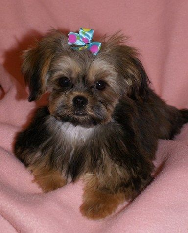 Shorkie Puppy Buy One This Colour And Won T Stay This Dark