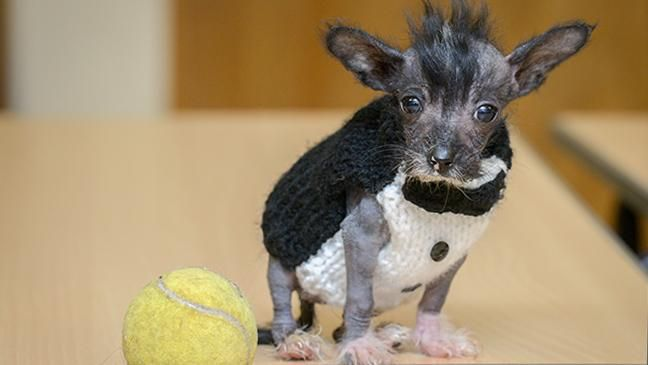 This rescue puppy is so tiny he wears children's socks as
