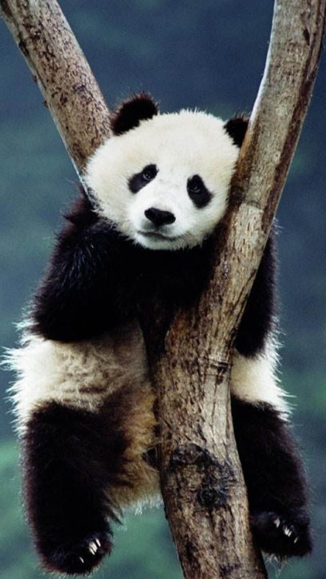 Cute pandas iphone wallpaper c iPhone Wallpaper Pinterest