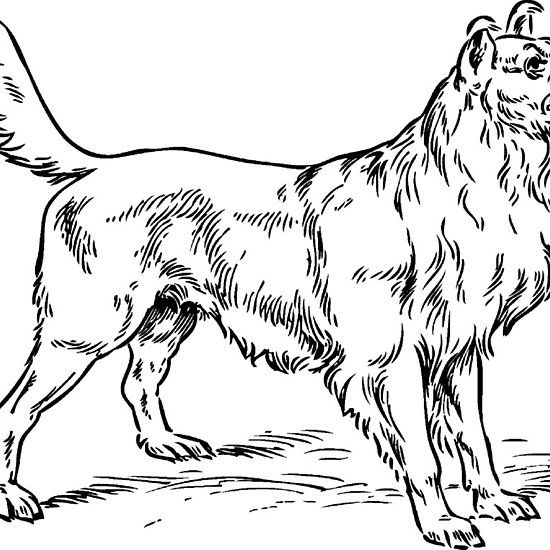 Border Collie Drawing Dog Clip Art Dog Outline Dog Coloring Page