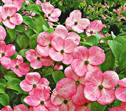 Cornus Stellar Pink White Flower Farm Pink Dogwood Tree