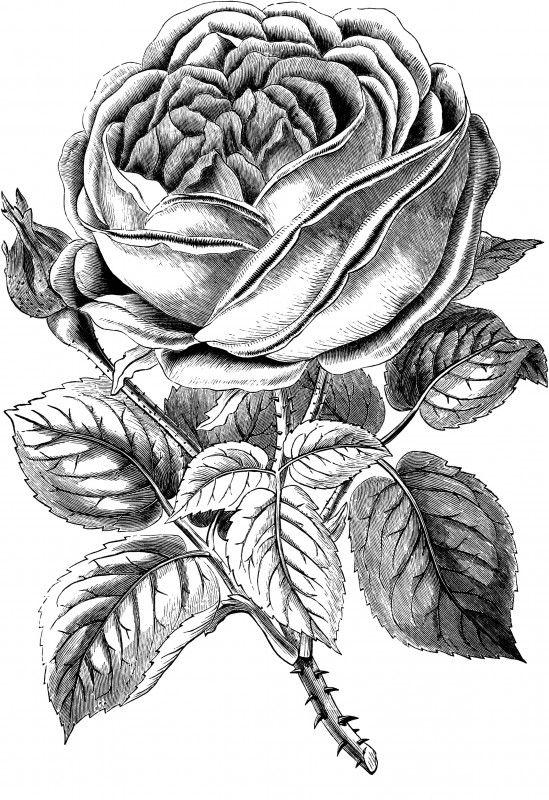 Free Vintage Rose Clip Art Image Clip Art Vintage Vintage Roses Rose Drawing