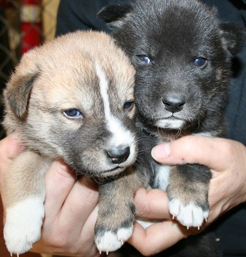 Baby Dingoes Open Their Eyes Baby Zoo Animals Zooborns Puppies And Kitties