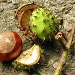 Top 10 Horse Chestnut Benefits - http://www.healtharticles101.com/top-10-horse-chestnut-benefits/#more-11904