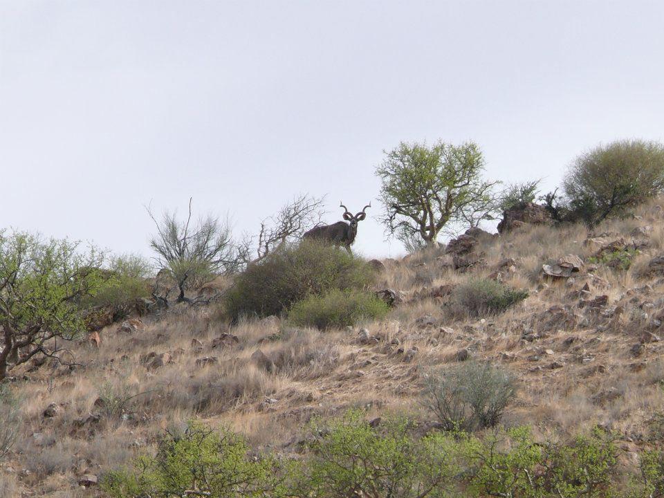 The majestic Kudu