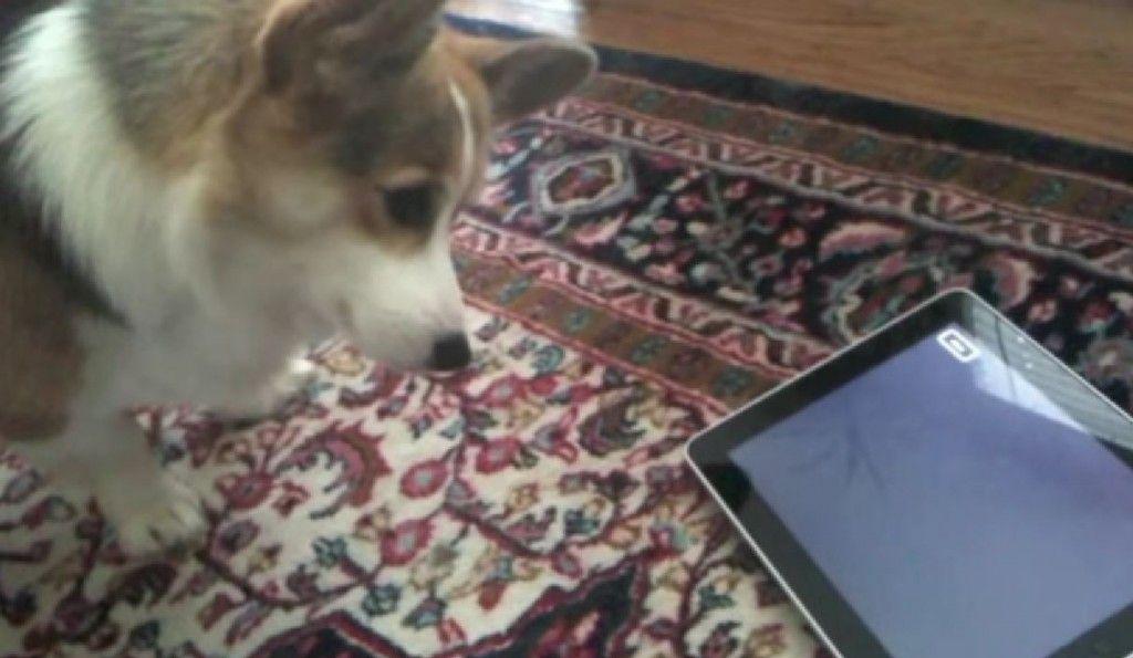 Chloe the Corgi Tests iPad
