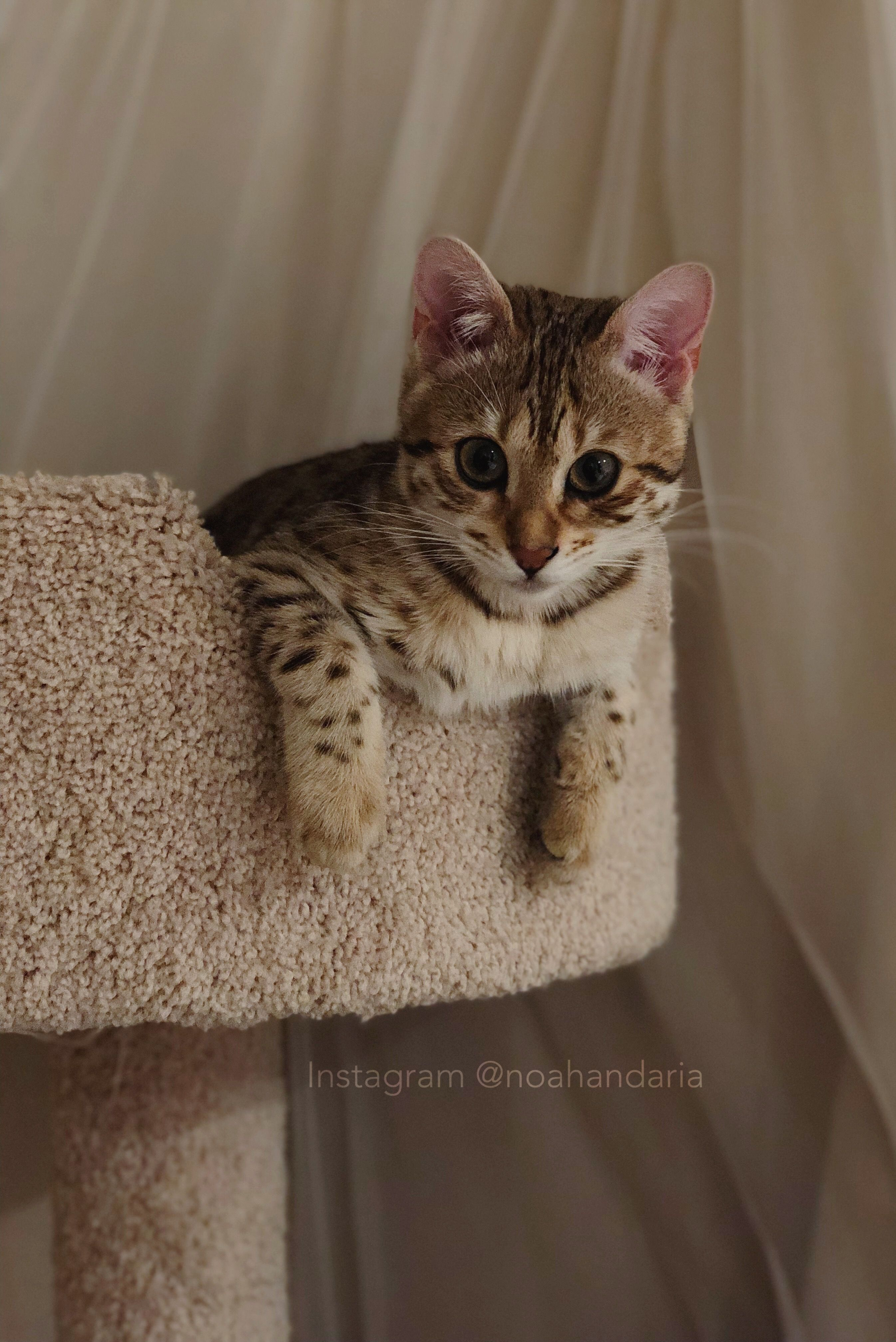 Hi I M Aria I M A Rosette Spotted Bengal You Can Follow My Brother And Me On Instagram Noahandaria Ps My Breeder Parents A Bengal Cat Cats Bengal Kitten