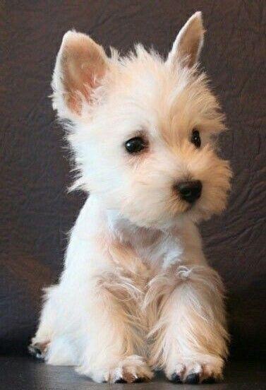 West Highland White Westie puppies, Cute dogs, Baby animals