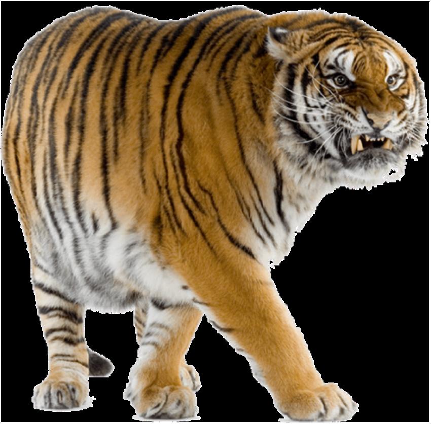 525 Best Animals Png Free Image Background Png Stocks Oye Be Smartest Tiger Walking Tiger Image