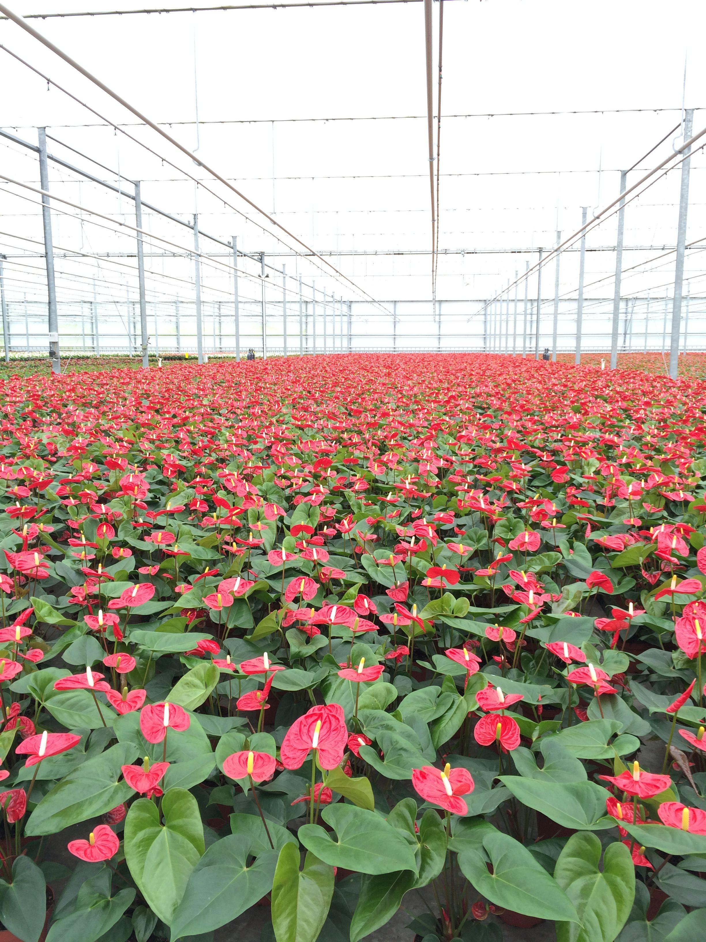 Anthurium Nursery In Holland Plants Anthurium Planting Flowers